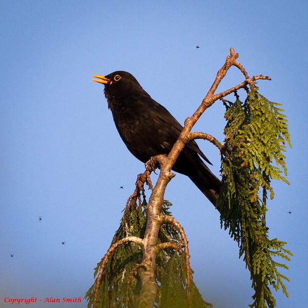 Blackbird end of day chorus