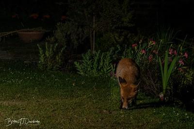 The fox returns