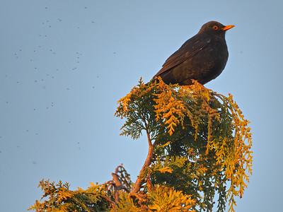 Blackbird at top of tree