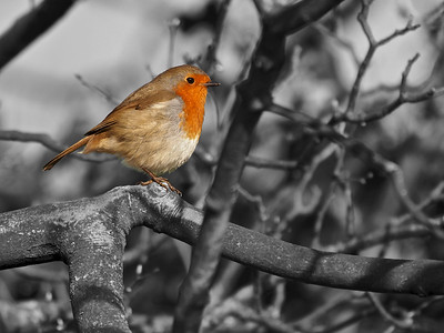 Robin sitting in tree partial colour