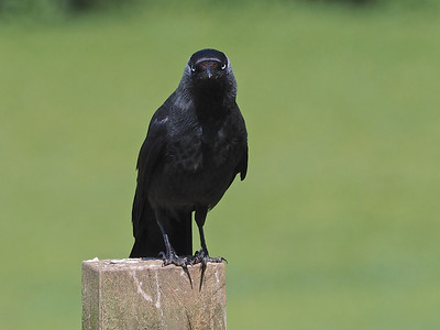 Jackdaw on fence