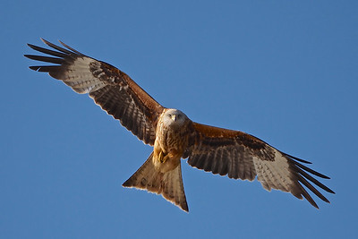 Red Kite open wings