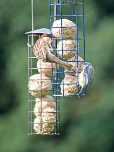 Sparrow & Blue tit