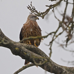 Red Kite close up in tree