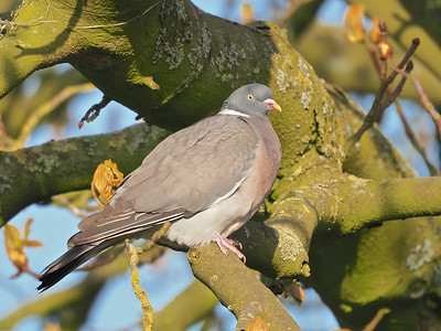 Wood Pigeon perched on tree branch