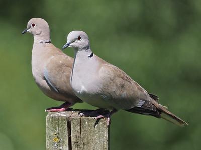 Dove pair