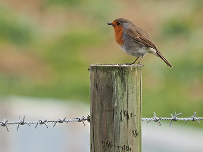 Robin standing on post