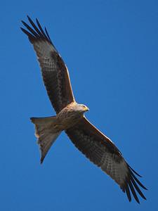 Red Kite close up
