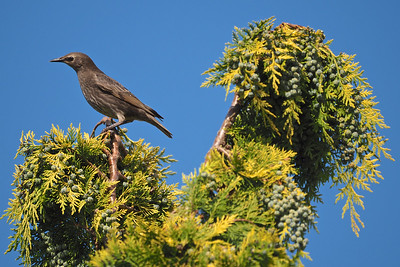 Starling in tree