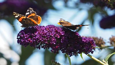 Butterflies & Buddleia