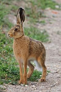 Hare posing