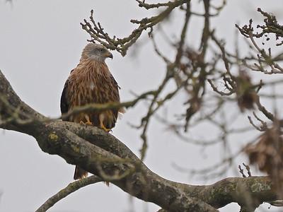 Red Kite resting in tree