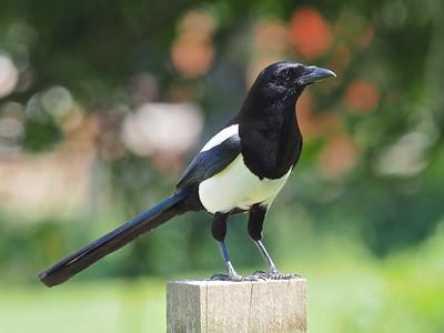 Majestic Magpie