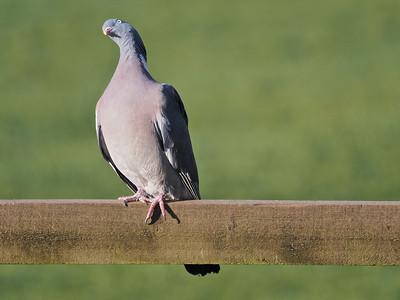 Wood Pigeon on fence