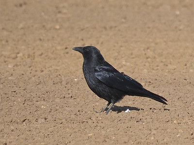 Crow in ploughed field