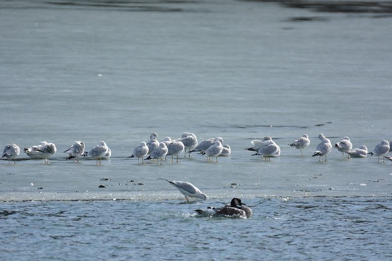 Shawnee Mission Park geese & gulls. 1.19.2015