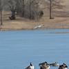 Shawnee Mission Park gulls