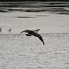 Shawnee Mission Park geese