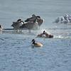 Shawnee Mission Park geese & gulls