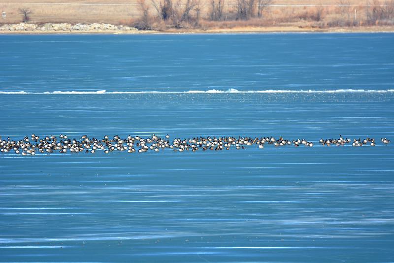 Smithville Lake geese