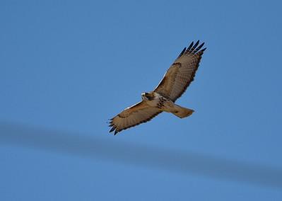 Geese, Hawk at Smithville Lake, Mo. 1.16.2015