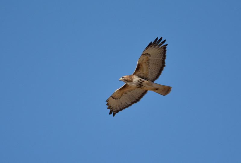 Smithville Lake hawk