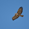 Smithville Lake hawk