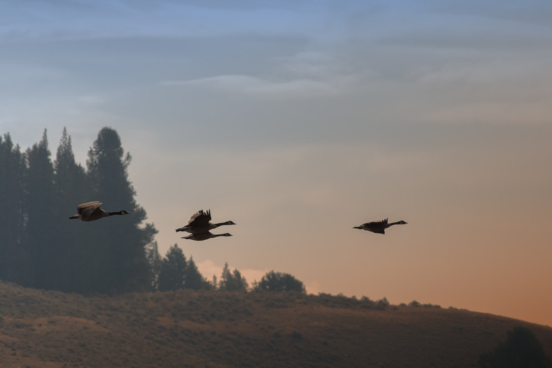 Geese, Yellowstone National Park
