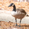 Candian Goose