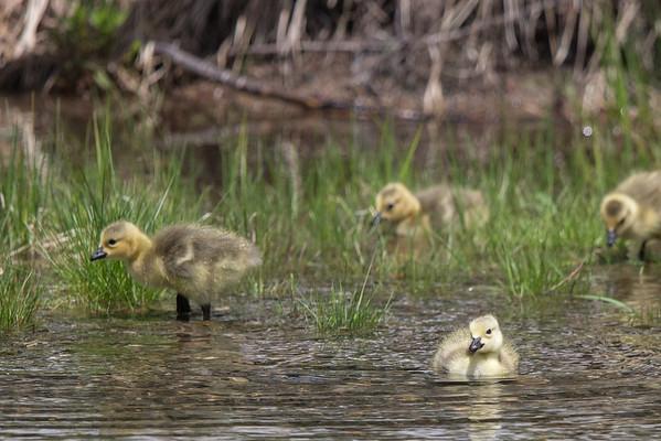 Canada Geese & Goslings (June 5, 2015)