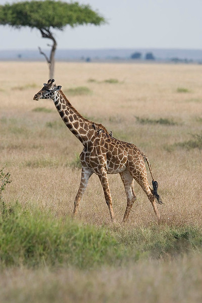 2007 07 24 Masai Mara 319