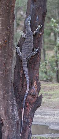 Tree Goanna (Varanus varius) - Capertee Valley, New South Wales
