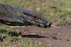 Tree Goanna (Varanus varius) - Capertee Valley, New South Wales
