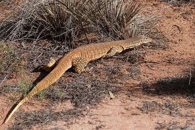 Sand Goanna (Varanus gouldii) - Gluepot, South Australia