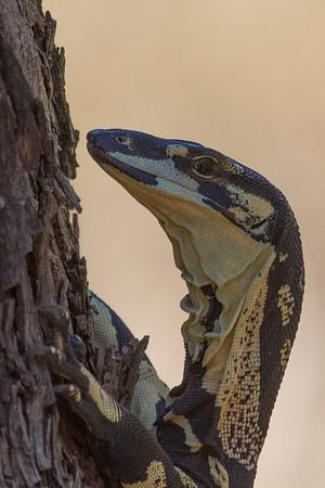 Tree Goanna (Varanus varius) - The Rock, New South Wales