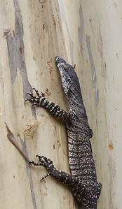 Tree Goanna (Varanus varius) - Dunns Swamp, New South Wales