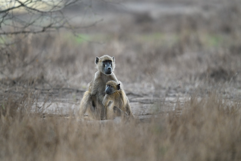 Baboons; 500mm 1/160 f/4 ISO 3,200
