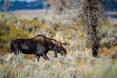 Grand Teton Bull Moose