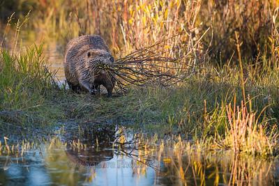 Schwabacher Beaver