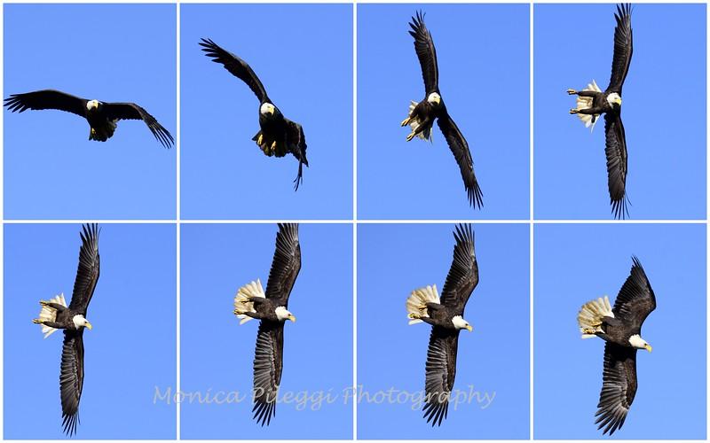 12 Oct 2015 Bald Eagles Conowingo