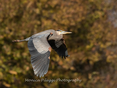 Great Blue Heron 19 Nov 2018-6666