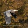 Great Blue Heron 19 Nov 2018-6666