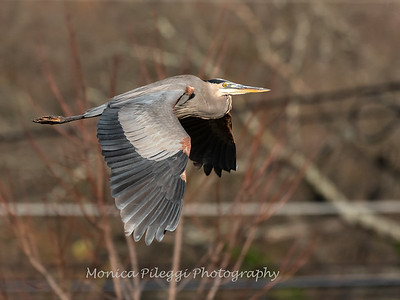 Great Blue Heron 19 Nov 2018-6674