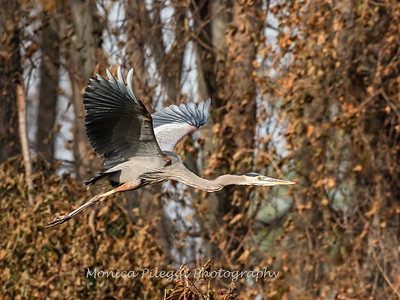 Great Blue Heron 19 Nov 2018-6663
