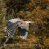 Great Blue Heron 19 Nov 2018-6668