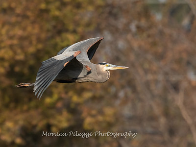 Great Blue Heron 19 Nov 2018-6667