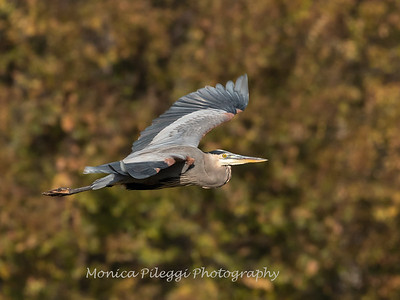 Great Blue Heron 19 Nov 2018-6665