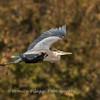 Great Blue Heron 19 Nov 2018-6665