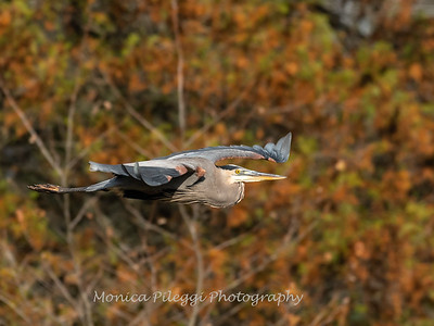 Great Blue Heron 19 Nov 2018-6670