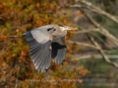 Great Blue Heron 19 Nov 2018-6671